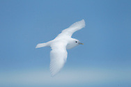 """An ivory gull (Pagophila eburnea) glides gracefully in the clear sky north of Spitsbergen, Svalbard. With its distinctive all white plumage, the ivory gull easily blends in with the icy surroundings when not in flight. Seeing this unique bird in the wild is an exciting prospect for wildlife enthusiasts, as this is a declining species due to environmental factors such as ice thickness and distribution. The ivory gull can primarily be observed in the Arctic seas and pack ice of northern Russia, Greenland, Canada, Svalbard and Jan Mayen. In Svalbard, the population is estimated to number 200. The Ivory Gull is classified by the International Union for Conservation of Nature as """"Near Threatened""""."""