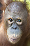 Bornean Orangutan<br /> Pongo pygmaeus<br /> Juvenile (approx. 5 years old) <br /> Orangutan Care Center, Borneo, Indonesia