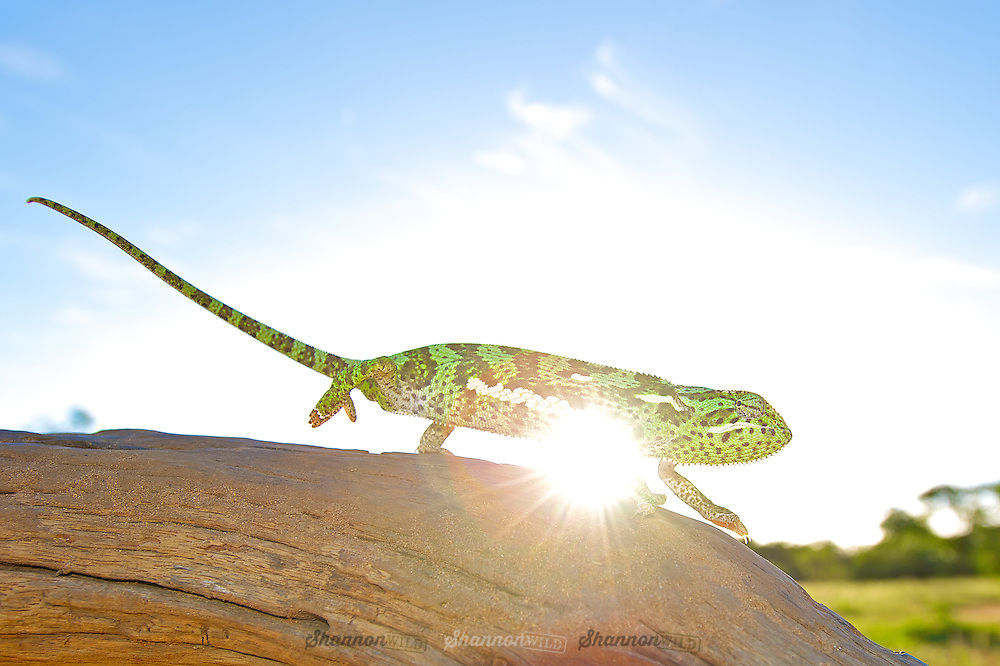 The Flap-necked chameleon (Chamaeleo dilepis), is native to sub-Saharan Africa. It is a large chameleon, reaching 35 cm (14 in). Colouring ranges through various shades of green, yellow, and brown. There is usually a pale stripe on the lower flanks and one to three pale patches higher on the flanks. These chameleons lay 25 to 50 eggs in a hole dug in soil, which is covered over again by the female.