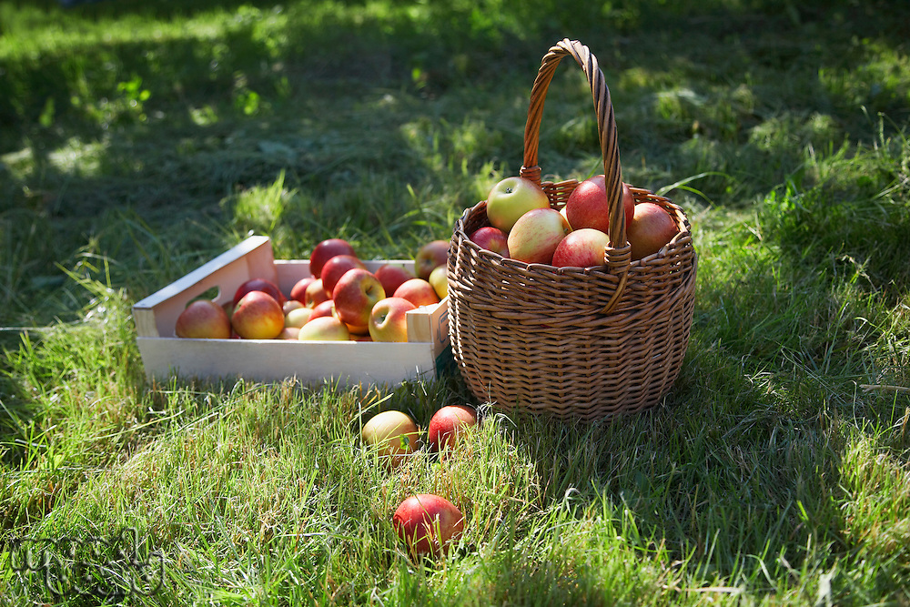 Basket and crate of apples on grass
