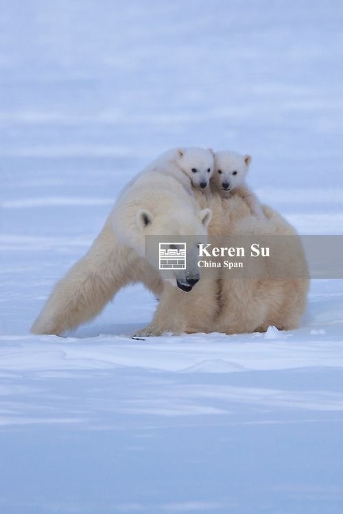 Polar bear (Ursus maritimus) mother with two cubs on snow, Canada
