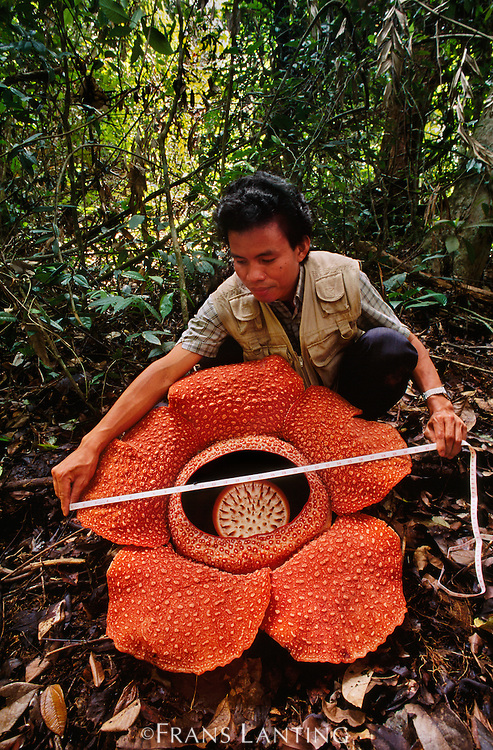 Botanist Jamili Nais measuring Rafflesia flower, Rafflesia keithii, Mt Kinabalu National Park, Sabah, Borneo