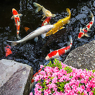Myoho-ji Carp Pond Yokohama -  Myoho-ji is an ancient temple in the Yokohama area, dating back to the 14th century.  Its simple pond koi garden is one of the nicest in the Kanto area.