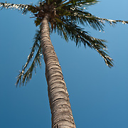 Coconut Palm, Cocos nucifera L., Tainan City, Taiwan