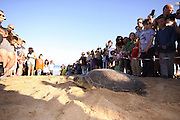 A crowd of people watch as a female Green Sea Turtle (Chelonia mydas), makes her way back to the Mediterranean sea after laying her eggs on the beach. This nesting sites are then sealed off to protect the eggs. Photographed in Israel in May
