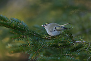 Golden Crowned Kinglet, Bass Harbor, Maine - This tiny bird showed up at my feeders during the deep freeze between Christmas 2017 and the first two weeks of January. While these birds feed largely on insects, this one (a male) has become a frequent visitor in the past few weeks with a strong preference for tree nuts.