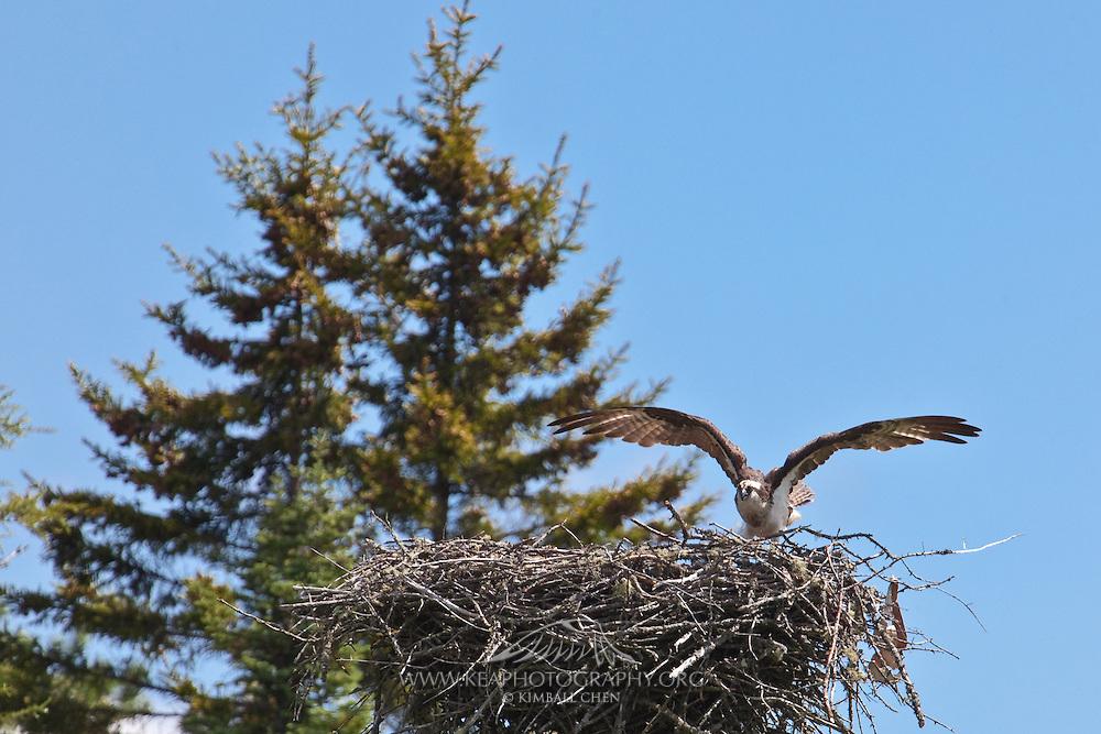 Osprey, Maine, North America