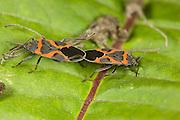 Small Milkweed Bugs; Oncopeltus kalmii; copulating; PA, Philadelphia, Schuylkill Center