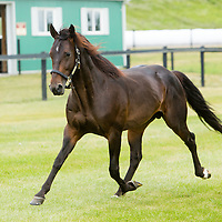 Tara Hills Stud - HE'S WATCHING - Pacing Stallion