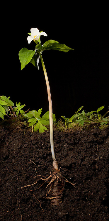 Cut away view of a western white trillium flower (trillium Ovatum) showing the long stem, subterranean bulb and roots. The white trillium bears distinctive 3-petaled, white flowers in spring above its dark-green leaves.