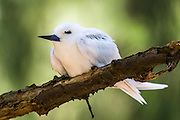 A White Tern (Gygis alba) incubating an egg whilst perched on a thin branch,.Midway Atoll National Wildlife Refuge.