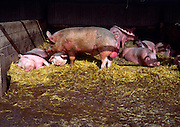 Interior of pig sty with boar and sows for breeding, Wiltshire, England