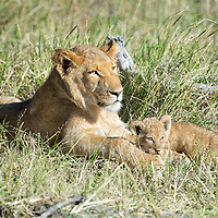 Lion cub with big brother