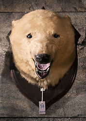 © Licensed to London News Pictures. 17/11/2016. Billingshurst, UK.  An early 20th century Polar bear, is displayed at Summers Place Auctions ahead of it's sale in their 'Evolution' Auction taking place on November 22, 2016 - which will also see a rare dodo skeleton up for sale.   Photo credit: Peter Macdiarmid/LNP