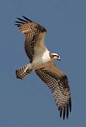 Osprey in Flight at Sepulveda Basin in Southern California