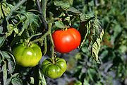 threesome tomatoe