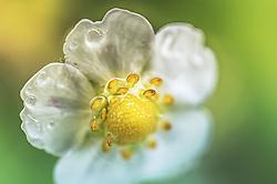 THEMENBILD - eine Erdbeerblüte mit Wassertropfen in Nahaufnahme, aufgenommen am 21. Mai 2019, Kaprun, Österreich // a strawberry blossom with water drops in close-up view on 2019/05/21, Kaprun, Austria. EXPA Pictures © 2019, PhotoCredit: EXPA/ Stefanie Oberhauser
