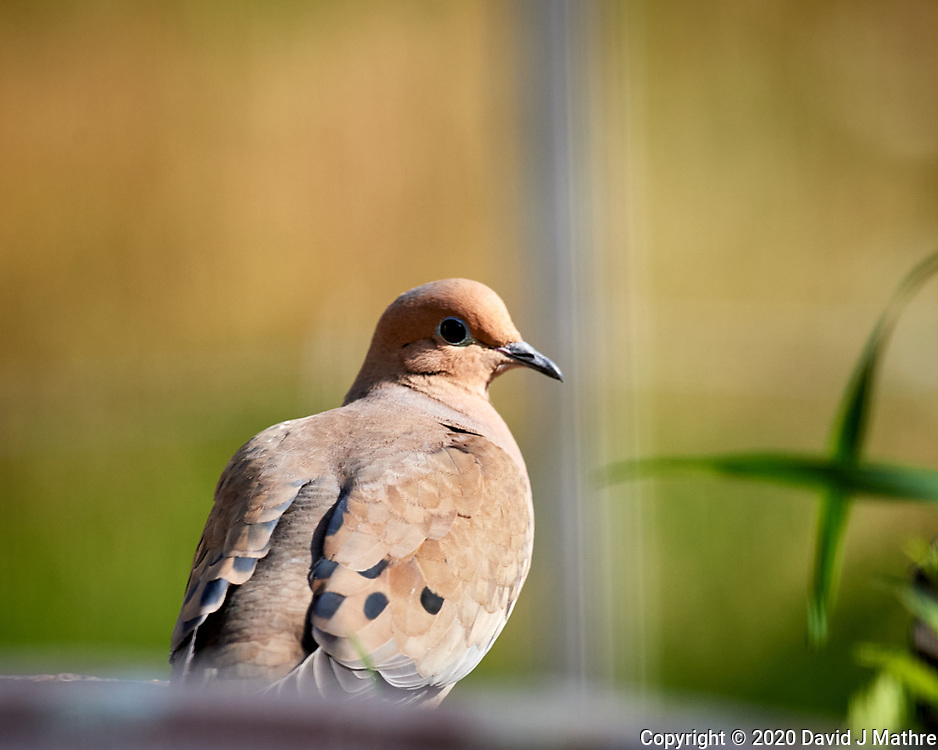 Mourning Dove. Image taken with a Nikon D5 camera and 600 mm f/4 VR lens (ISO 720, 600 mm, f/5.6, 1/1250 sec)