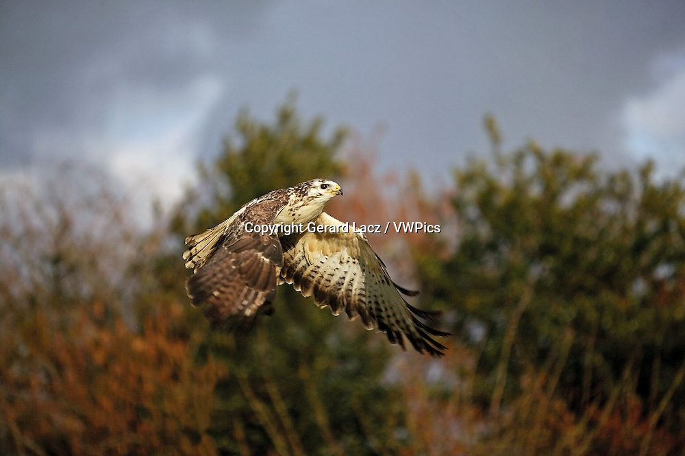 Common Buzzard, buteo buteo, Adult in Flight, Normandy