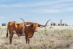 Texas longhorns from Official State of Texas Longhorn Herd near Fort remnants, Fort Griffin State Historic Site, Albany, Texas USA.