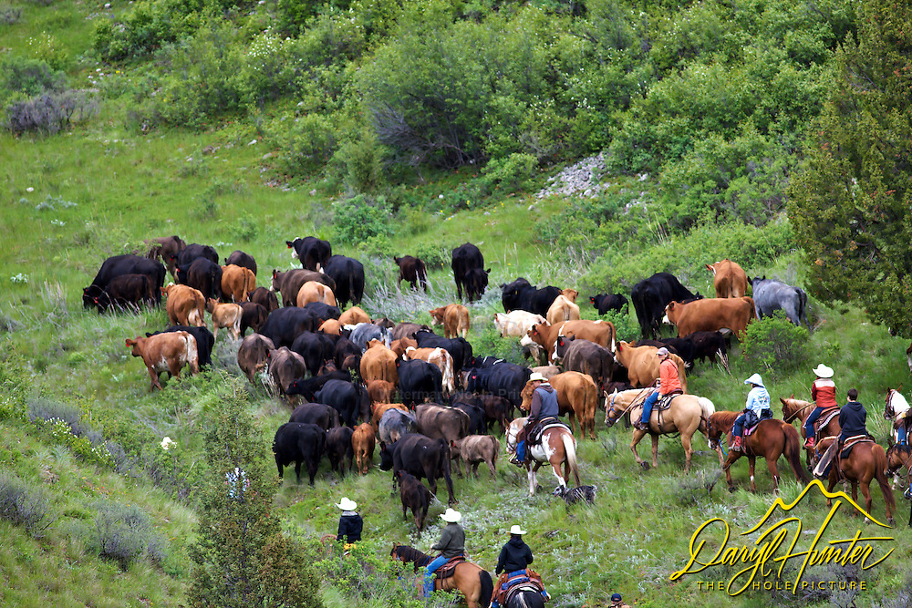 Cattle drive in Swan Valley Idaho. June is the time many ranchers move their cattle to the mountains so they can grow hay on their property so the cows will have something to eat when they come out of the mountains for the winter...The cowboys of the west are under assault because many don't like to see their cows on public land. I have written a couple of articles articulating the problem. My photos are not to be used for anti public land ranching interests.