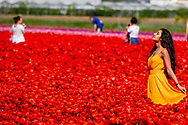 LISSE toeristen in de tulpenvelden bij lisse , tulp tulpen , roos , rozen , bollenvelden staan in de bloei tijdens de lente bloembollen , bollenvelden , toeristen , toerist in , bloei , staan , Tourist between the flowerfields in the netherlands Drukte in de Bollenstreek. Er kwamen weer veel toeristen uit binnen- en buitenland naar de bollenvelden en Keukenhof. Bezoekers maken fotos van kleurrijke tulpen in de bloeiende bollenvelden rond de Keukenhof. <br /> bollenvelden van de Keukenhof in volle bloei. 2017 68 68e 68ste achtenzestigste attractie bezienswaardigheid bloei bloeien bloem bloemen bloemenpark bloemententoonstelling bloementuin bol bolgewas bollen bollenstreek bollenvelden editie evenement expo expositie flora gewas holland in jaarlijks jaarlijkse keer keukenhof landbouw landbouwevenement landbouwproduct lente lente2017 luchtfoto luchtopname natuur nederland nederlandse overzicht park plant planten plantenrijk seizoen tentoonstelling toerisme toeristenseizoen toeristisch toeristische tourisme touristisch touristische traditie tuin tuinbouw tuinen uitzicht voorjaar voorjaar2017