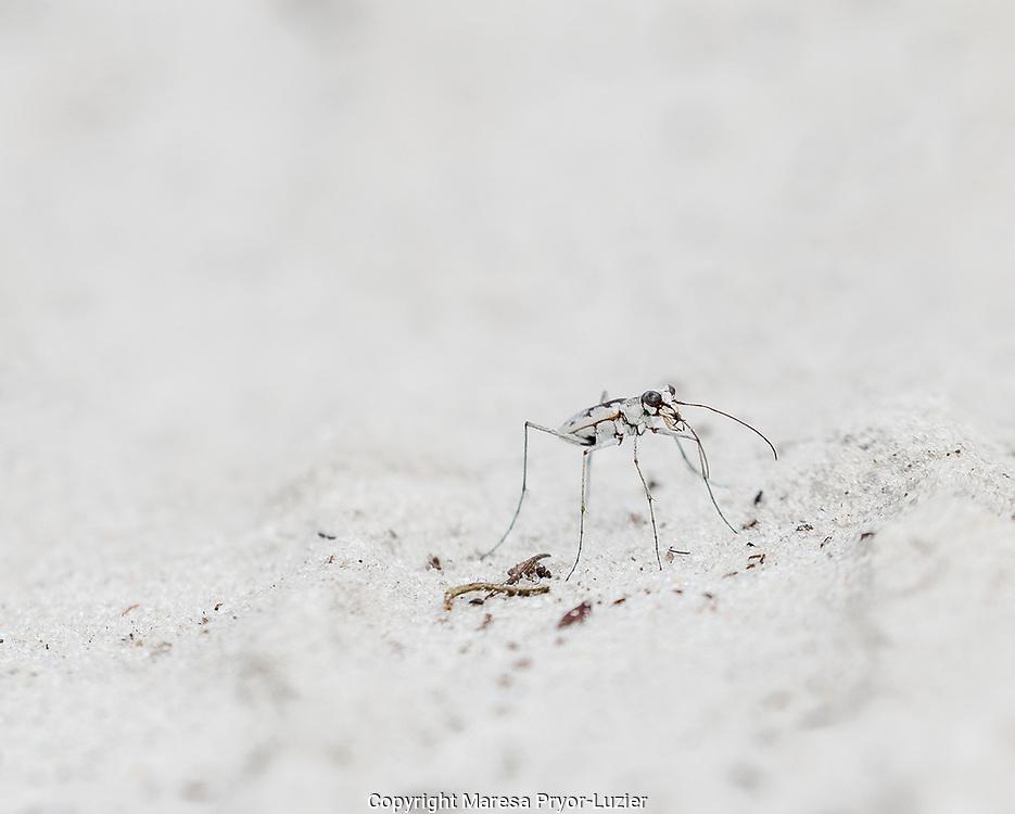Moustache tiger beetle, Cicindela hirtilabris, Sandy upland scrub, Half Moon WMA, Florida