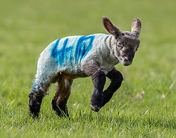 © Licensed to London News Pictures. 06/04/2018. Dorking, UK. A one day old newborn lamb enjoys the grass for the first time in the spring sunshine on the Downs at Ranmore, near Dorking in Surrey. Warm spring temperatures are being experienced in parts of the UK today. Photo credit: Peter Macdiarmid/LNP
