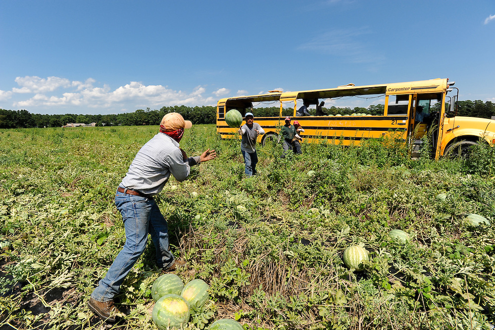 Workers picking watermelons on watermelon farm