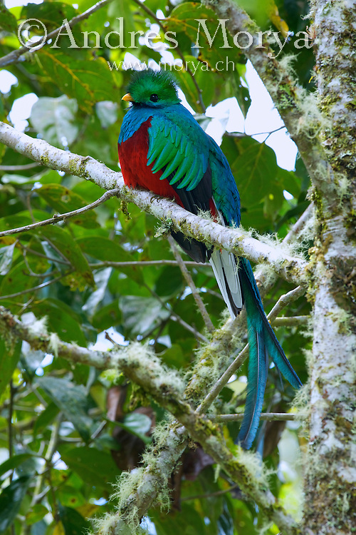 Resplendent Quetzal (Pharomachrus mocinno), Costa Rica. The Quetzal prefers damp mountain forests, and is most active in the canopy and edges; it may survive in heavily deforested areas, but only if there remain woods with adequate feeding and nesting trees. The Quetzal mostly eats fruits of the avocado family, as well as figs. Its diet also includes insects, small frogs, snails, and lizards. It drinks water from the bases of bromeliads. Image by Andres Morya