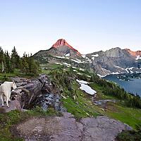 glacier national park, montana, mountain goat billy, logan pass
