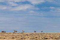 GUANACOS (Lama guanicoe) Y ESTEPA PATAGONICA, RUTA 97 CAMINO A CUEVA DE LAS MANOS, PROVINCIA DE SANTA CRUZ, PATAGONIA, ARGENTINA (PHOTO © MARCO GUOLI - ALL RIGHTS RESERVED)