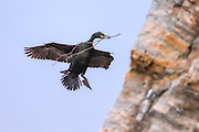 European Shag flying with a branch in it's beek, building nest | Toppskarv som flyr med en gren i nebbet, på vei for å bygge reir.