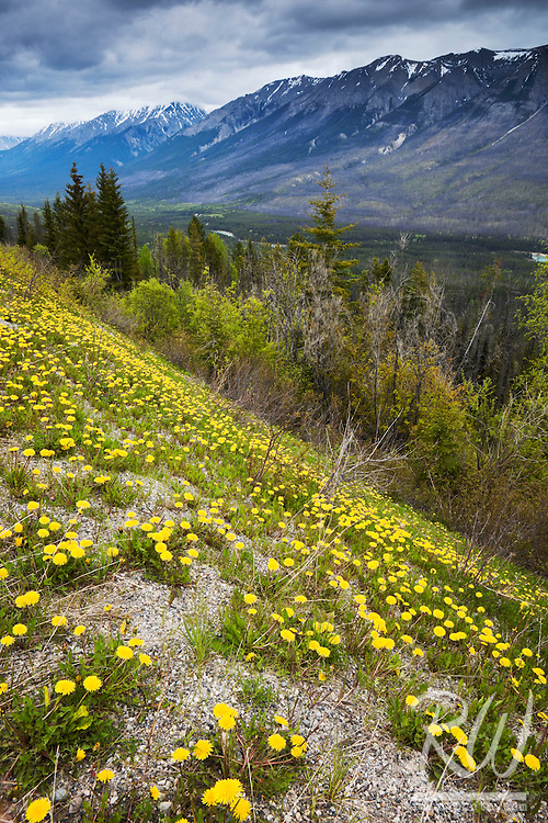 Kootenay Valley Viewpoint with Yellow Dandelions Growing in Foreground, Kootenay National Park, British Columbia, Canada