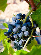 Öküsközü grapes at Urla