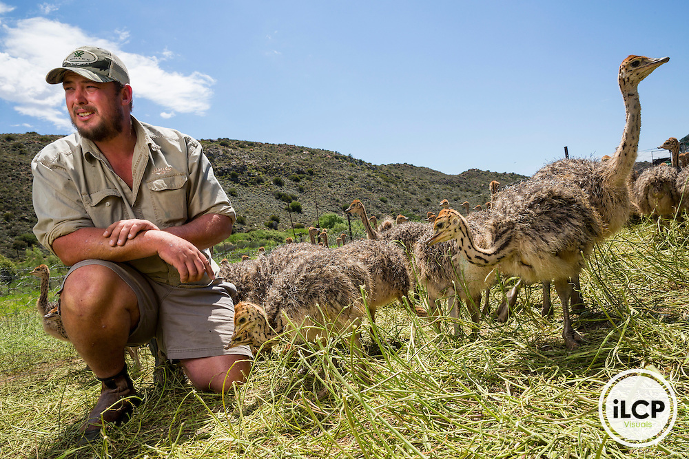 Francois Botes takes care of an ostrich breeding farm in the Klein Karoo. For Francois Botes, extensive sheep farming is not possible because of predators and mountains that hide the leopard. It is therefore in charge of an ostrich farm! Near Prince Albert, Eastern Karoo, South Africa / François Botes s'occupe d'une ferme d'élevage d'autruches dans le Klein Karoo. Pour François Botes, l'élevage extensif de moutons n'est pas possible à cause des prédateurs et des montagnes qui cachent le léopard. Il est donc en charge d'une ferme d'autruches ! Near Prince Albert, Eastern Karoo, South Africa