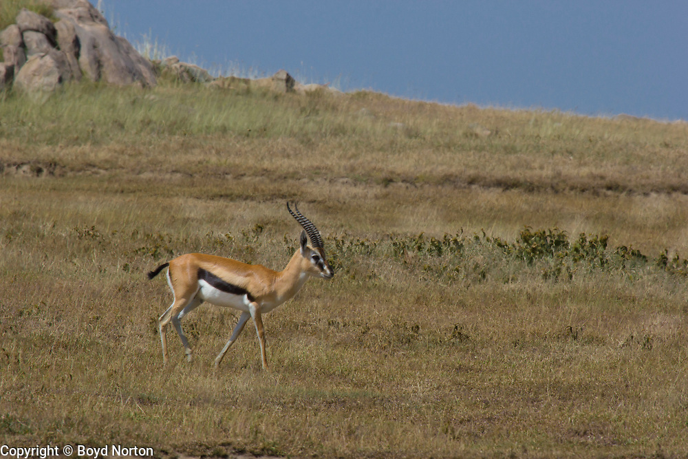 Thomson's gazelle, Serengeti National Park, Tanzania.