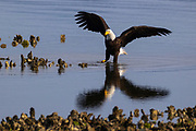 A bald eagle (Haliaeetus leucocephalus) takes advantage of low tide to fish in shallow waters in Hood Canal near Seabeck, Washington. Hundreds of bald eagles congregate in the area in early summer to feast on migrating fish that are trapped during low tides.