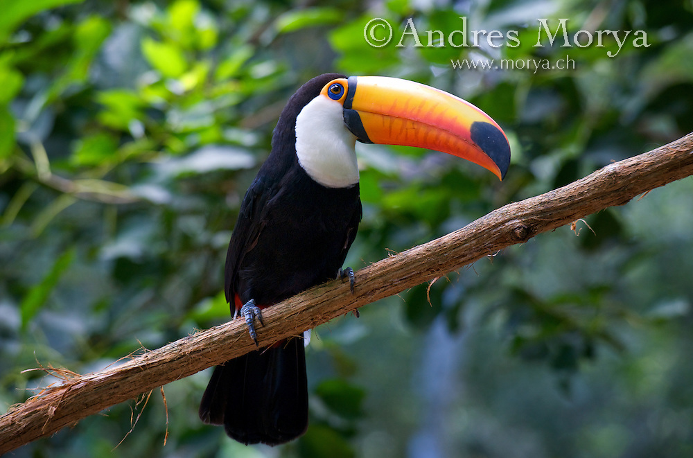 Toco Toucan (Ramphastos toco), Brazil. Is the largest and probably the best known species in the toucan family. It is found in semi-open habitats throughout a large part of central and eastern South America. Toco Toucan (Ramphastos toco), Brazil. Is the largest and probably the best known species in the toucan family. It is found in semi-open habitats throughout a large part of central and eastern South America. Image by Andres Morya