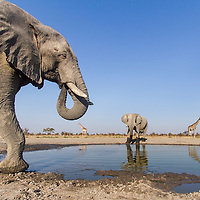 Africa, Botswana, Chobe National Park, African Elephant (Loxodonta africana) drinking from small water hole and nearby Giraffe (Giraffa camelopardalis) herd in Savuti Marsh
