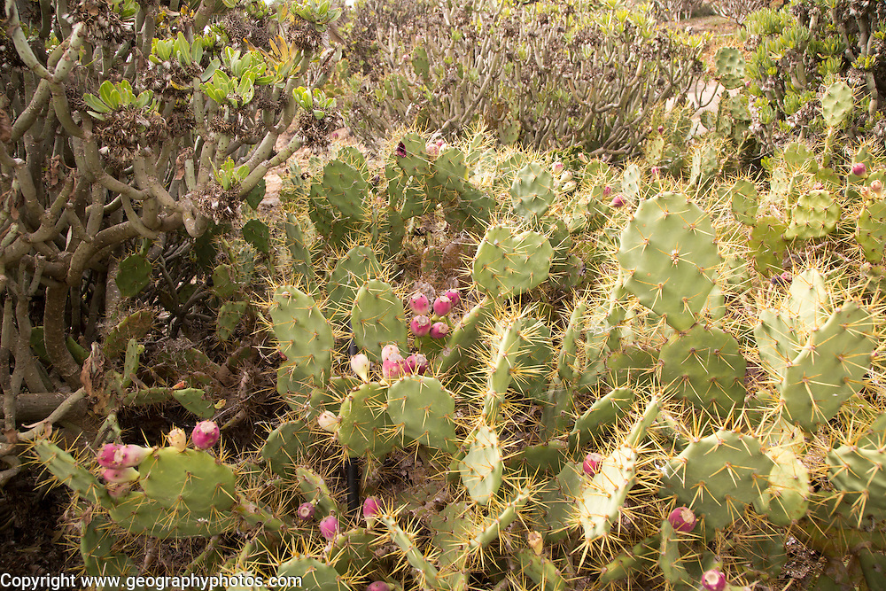 Opuntia prickly pear cactus and other cacti succulent plants, Fuerteventura, Canary Islands, Spain