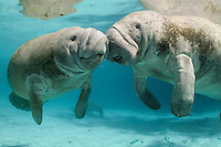 Florida manatee, Trichechus manatus latirostris, a subspecies of the West Indian manatee, endangered. A male manatee calf rubs snouts with his affectionate mother near a warm water spring vent. The mother and this older calf have a close bond. Horizontal orientation. The pair is floating in the warm blue freshwater of Three Sisters Springs, Crystal River National Wildlife Refuge, Kings Bay, Crystal River, Citrus County, Florida USA.
