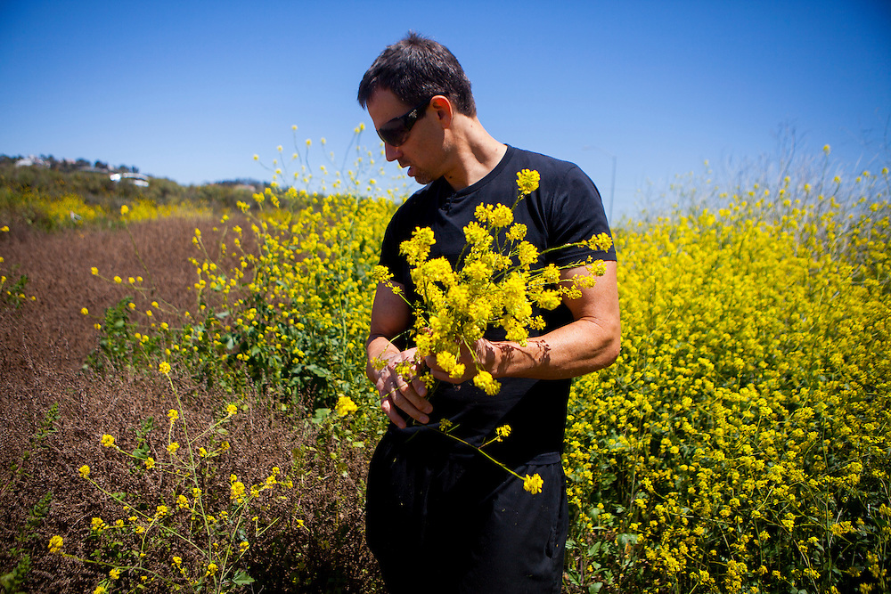 12:26 p.m...Chef Carl Schroeder picks mustard flowers he's planning to use to prepare a dish at the restaurant.