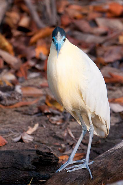 Capped Heron along the Cristalino river in the Amazon, Brazil