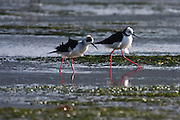 Pied stilt, low tide along Otago Peninsula, New Zealand