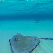 Stingrays swiming  among the tourist at Stingray City. Grand Cayman Island.