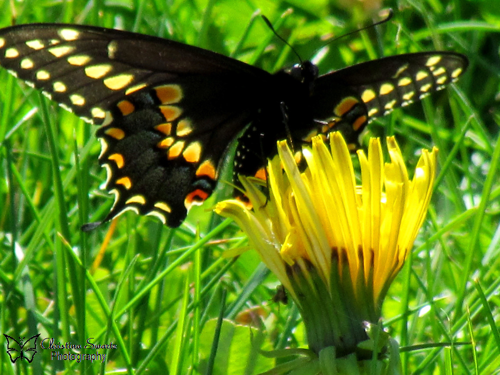 Click the Buy button to purchase this image in the form of prints, products, or downloads. I took this Black Swallowtail butterfly from my back yard in Ohio. This species can be found in old fields, pastures, along roadsides, in meadows, and flower gardens.