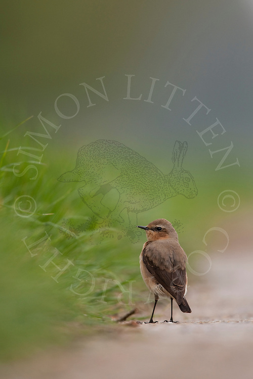 Northern Wheatear (Oenanthe oenanthe) adult female on farm track, UK.
