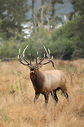 Bull Roosevelt Elk bugling with trees and water in background