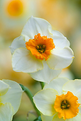 Narcissus 'Daymark'